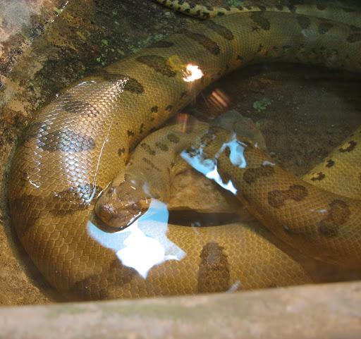 anaconda gigante verde en el agua