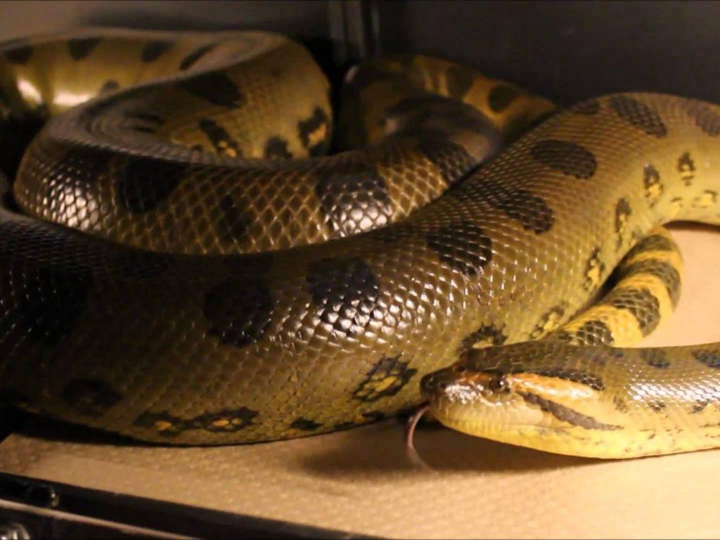 Serpiente constrictora, anaconda verde
