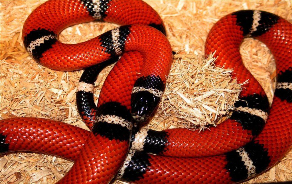 serpiente de coral roja y negra sobre fondo claro