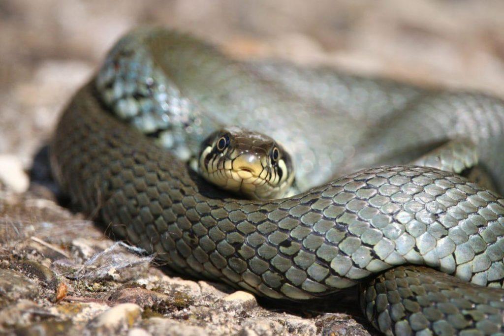 serpiente mamba negra enroscada sobre superficie rocosa