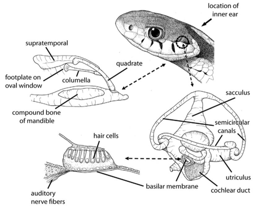 Audición somática y audición por el oído interno