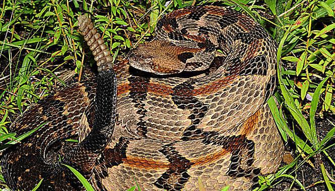 propiedades y caracteristicas de la serpiente de cascabel de madera
