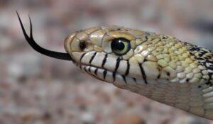 como huelen las serpientes