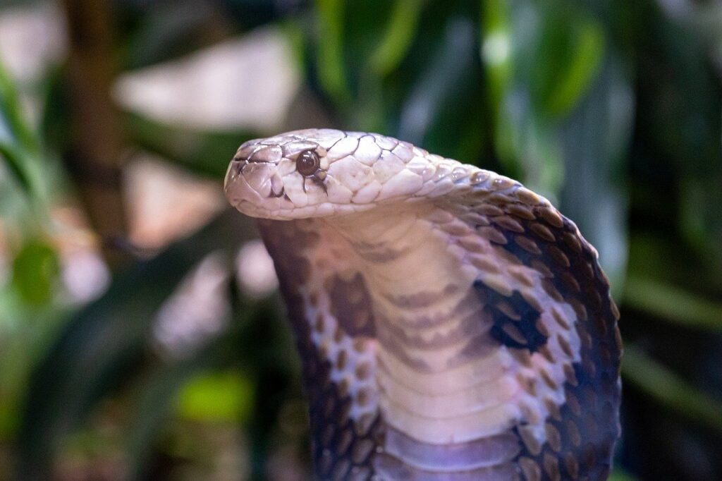 caracteristicas y propiedades de las cobras