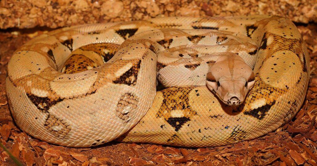caracteristicas y propiedades de las serpientes constrictoras