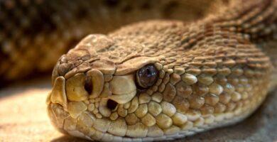 caracteristicas y propiedades de las serpientes de cascabel